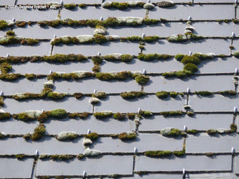 Mousse sur toit en ardoise